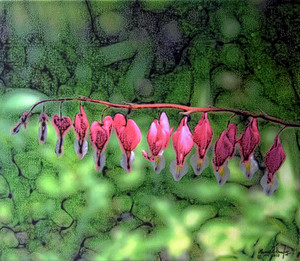 Bleeding Hearts Canvas 20x16